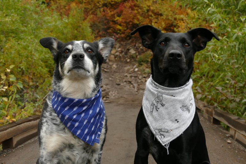 mix da loja agroveterinária: Dois cães com bandanas