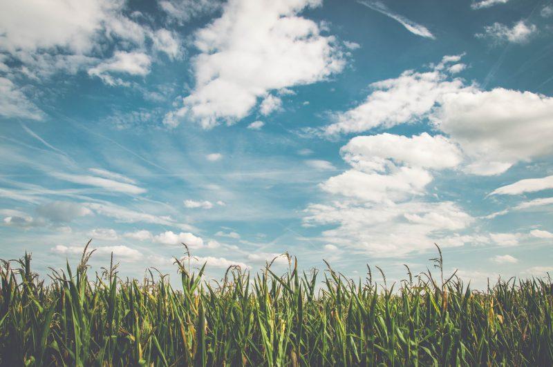 mix da loja agroveterinária: céu claro em campo de milho