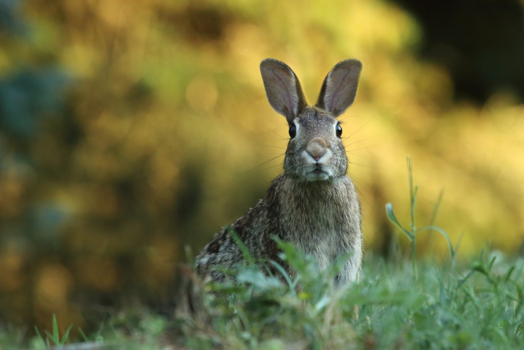 Um coelho amarronzado em um campo gramado olhando para a câmera