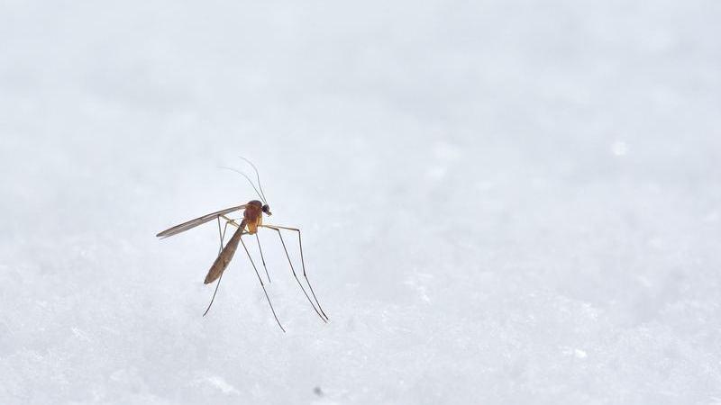 Mosquito marrom pousado em uma superfície branca.