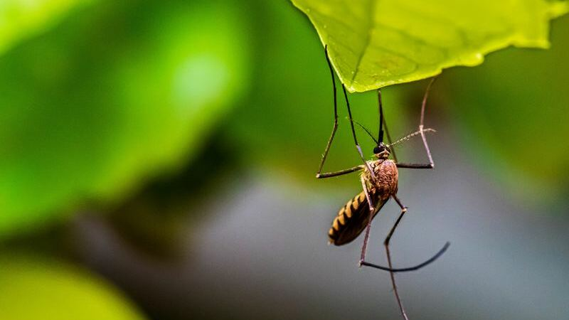 Mosquito marrom pendurado em uma folha de árvore.
