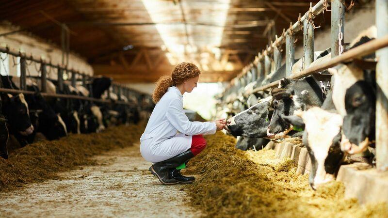 Em um celeiro cheio de vacas e bois se alimentando, há uma mulher agachada cuidando de uma vaca.