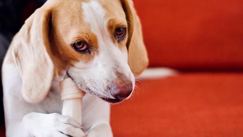 Cachorro Beagle segurando e mordendo osso de brinquedo em sofá vermelho.