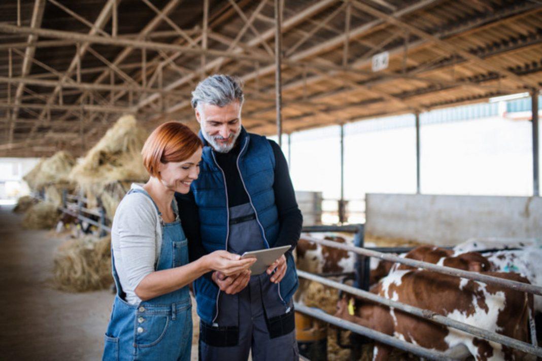 Casal segurando um tablet em meio a um galpão cheio de vacas. Eles recebem uma consulta online de seu veterinário.